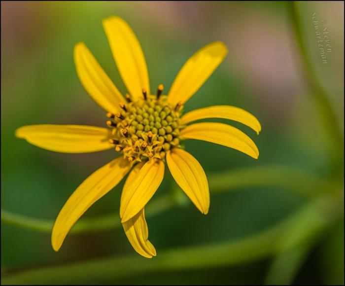 Goldeneye Flower Head 0029