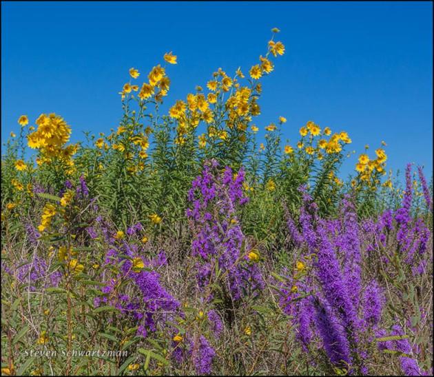 Liatris Flowering by Maximilian Sunflowers 0689A