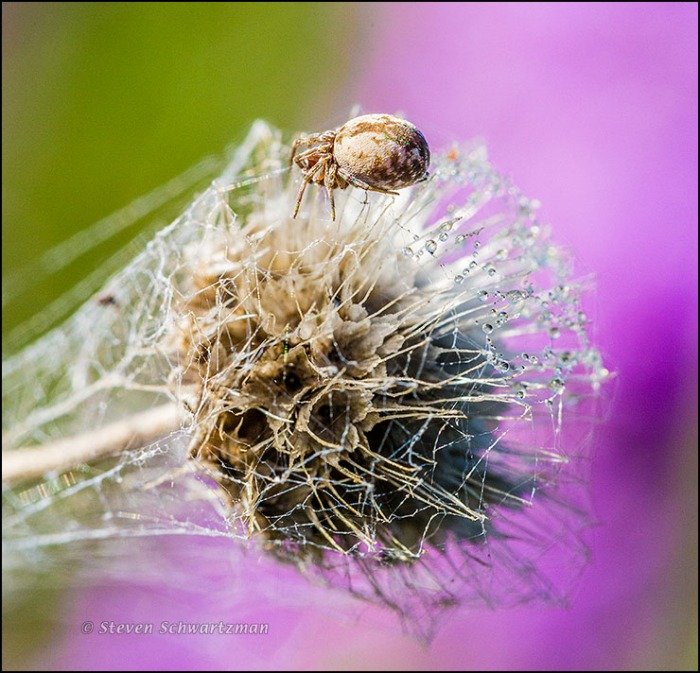 Small Spider on Firewheel Seed Head Remains by Liatris 0966