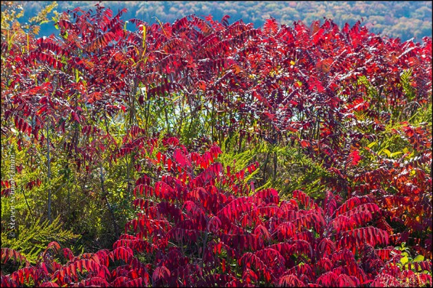 Sumacs Turning Red Above Lake Fort Smith 8759