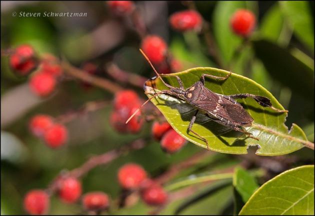 Western Leaffooted Bug on Evergreen Sumac 0620