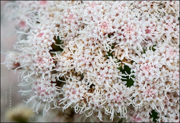 Ageratina havanensis Flowers and Buds 7775