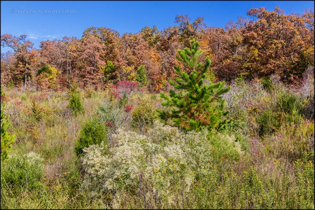 Baccharis halimifolia, Pine, and Other Trees 8790