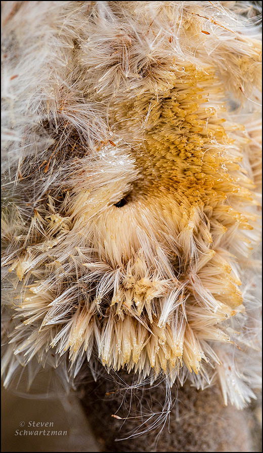 Cattail Seed Head Decomposing 6184