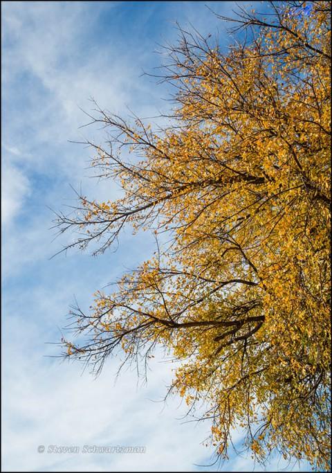 Cedar Elm Turning Yellow with Wispy Clouds 4889