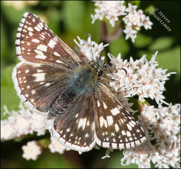 Common Checkered Skipper on Ageratina havanensis 0403