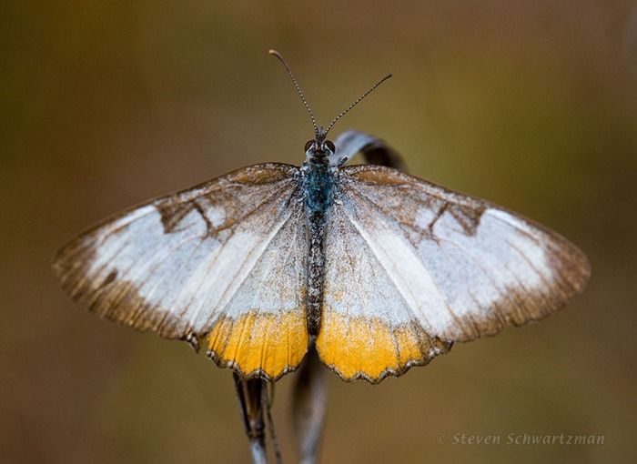 Common Mestra Butterfly 1652