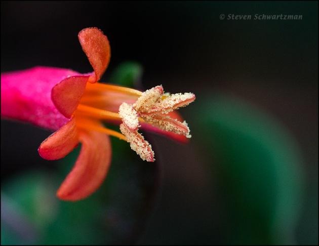 Coral Honeysuckle Flower 5590