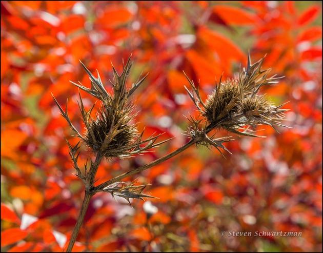 Eryngo Seed Head Remains by Colorful Flameleaf Sumac 2285