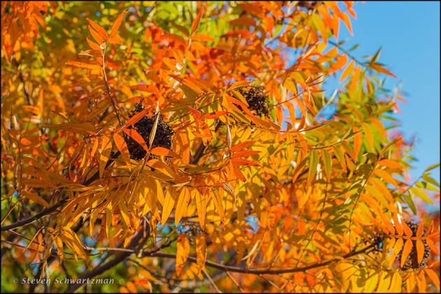 Flameleaf sumac with Fruit Turning Colors 3038