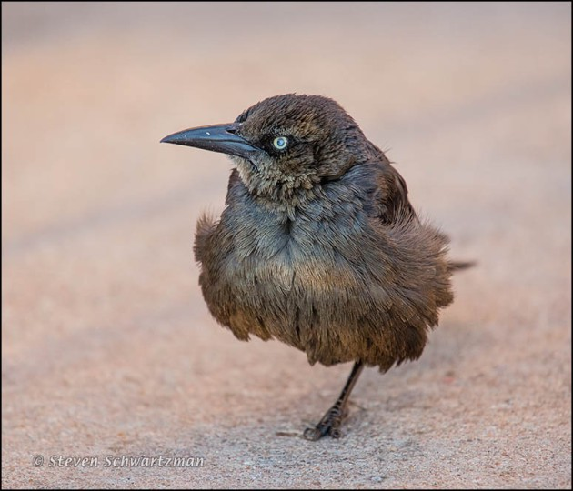 Grackle Standing on One Leg 8308