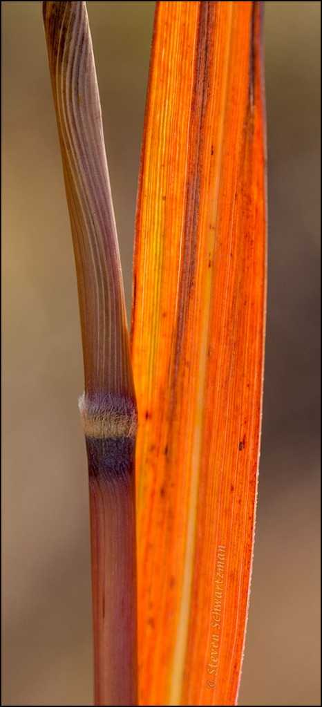 Indiangrass Stalk and Leaf 2604