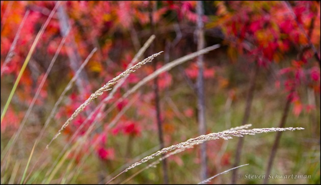 Lindheimer's Muhly by Flameleaf Sumac 1791