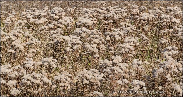 Pluchea odorata Colony Turned Fluffy 2690