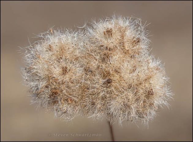 Pluchea odorata Turned Fluffy 2720