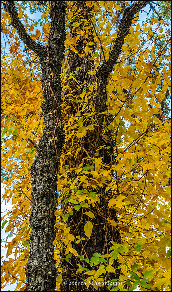 Poison Ivy Turning Yellow 2205