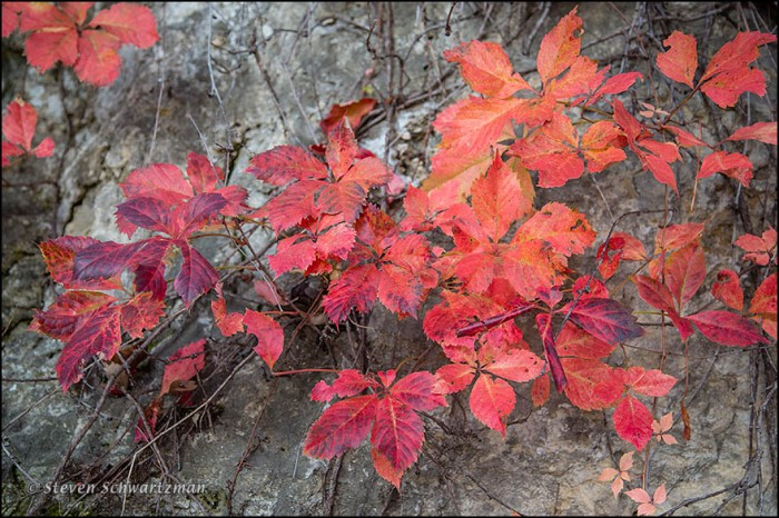 Virginia Creeper Turning Red on Rocks 2248