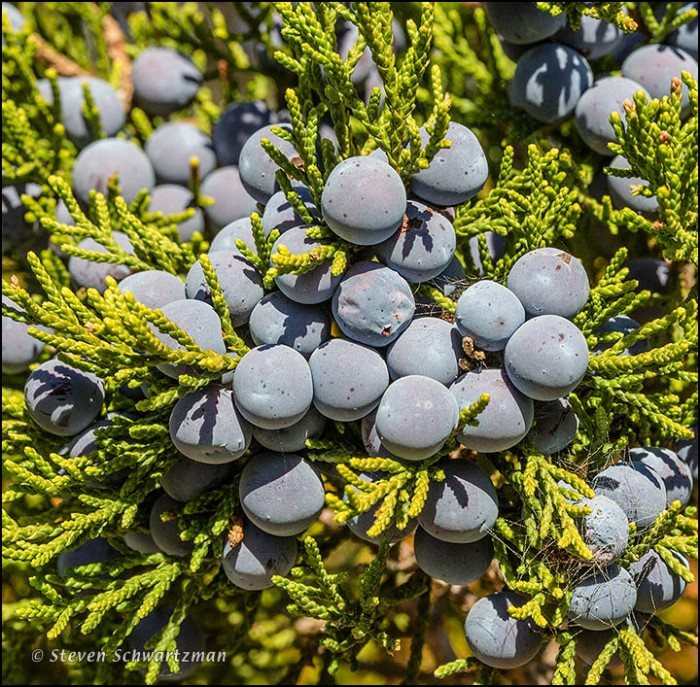 Ashe Juniper Fruit 9930