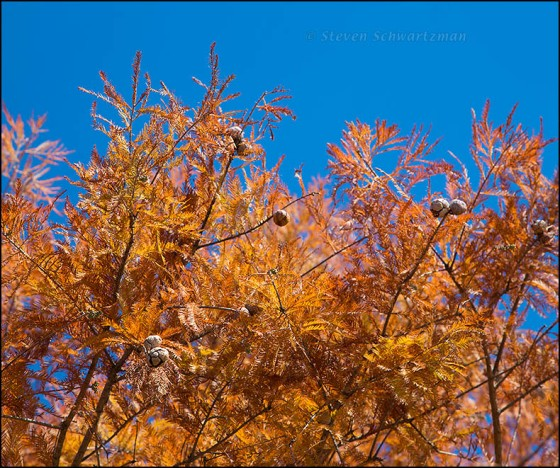 Bald Cypress Turning Orange 3839
