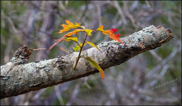 Leaves Turning Red on Seemingly Dead Oak Tree 8824