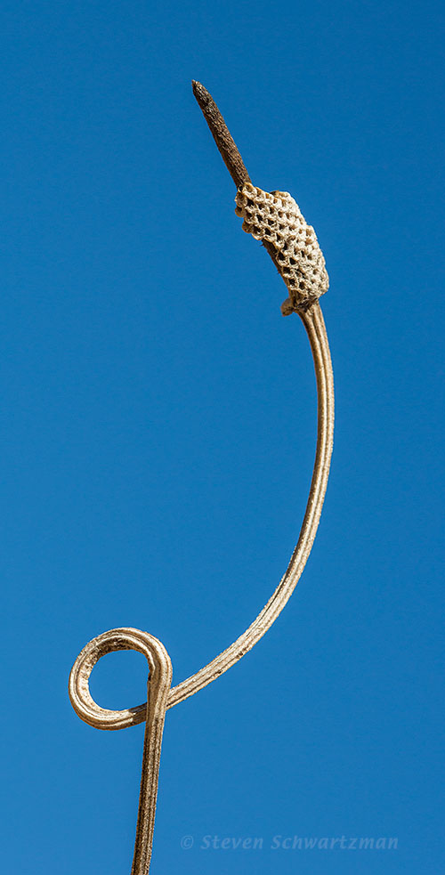 Mexican Hat Seed Head Remains with Looped Stem 8351A