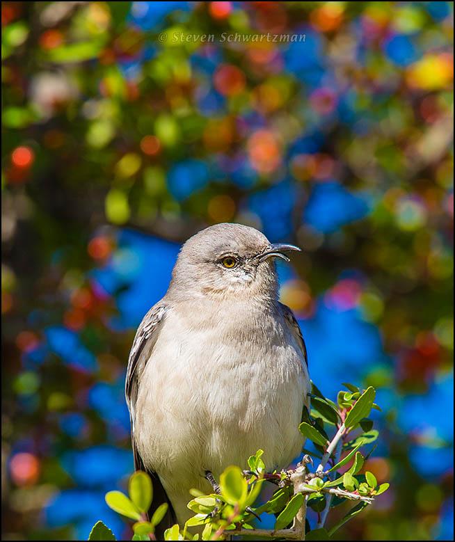 Mockingbird on Yaupon with Fruit 0686