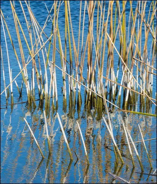 Reeds in Pond 0159