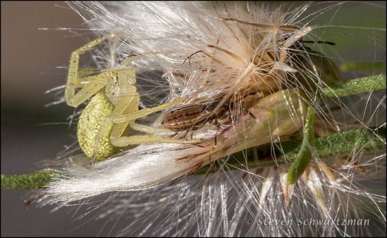 Spider Reaching for Nymph on Poverty Weed 9698