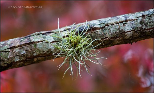 Ball Moss by Rusty Blackhaw 6243