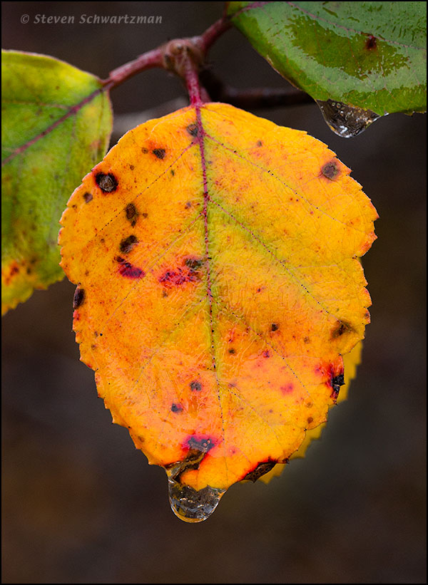 Colorful Blanco Crabapple Leaf with Raindrops 6374