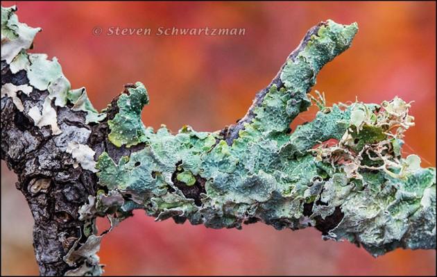 Greenish Lichen by Flameleaf Sumac 6675