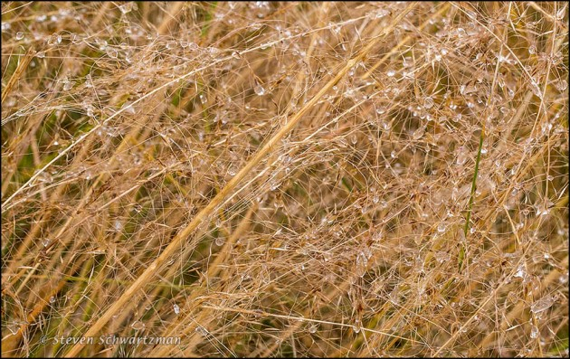 Gulf Muhly with Frozen Drops 6275