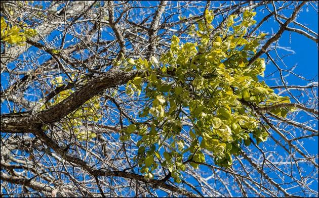 Mistletoe in Bare Tree 0113