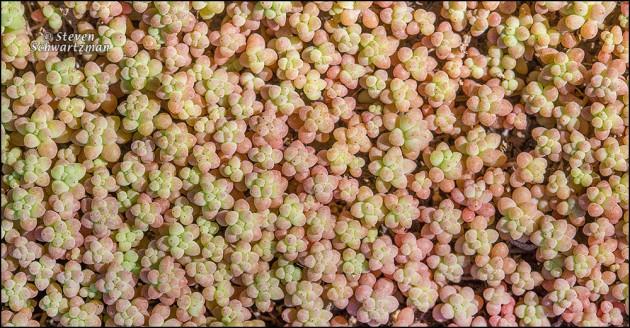 New Yellow Stonecrop Plants 0998