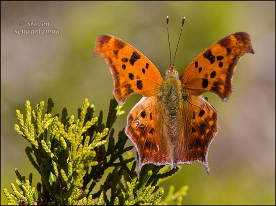 Question Mark Butterfly on Ashe Juniper 0763