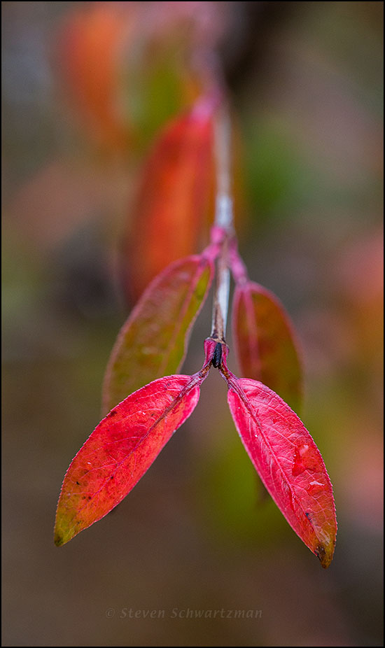 Rusty Blackhaw Leaves Turning Colors 6605
