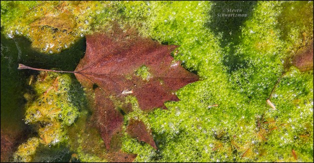 Sycamore Leaf in Creek with Algae 1167