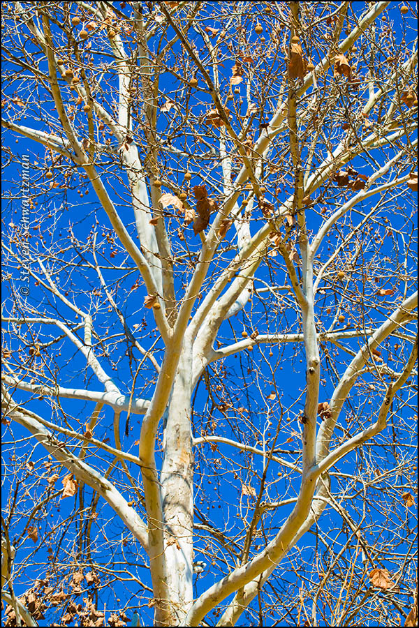 Sycamore Tree with White Bark 0871