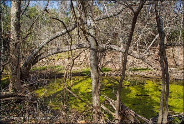 Winter Woods with Algae on Creek 1227