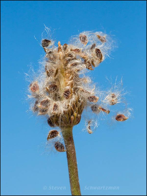 Anemone Seeds Coming Undone 3493