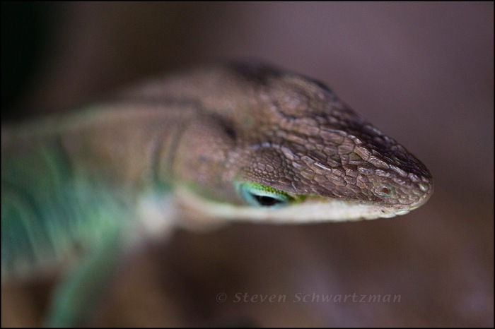 Anole's Head 3573