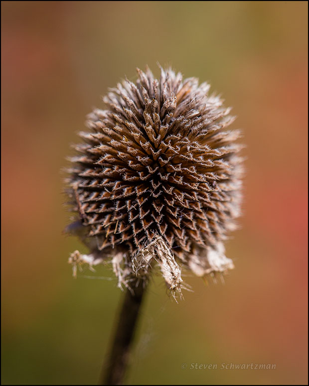 Black-Eyed Susan Seed Head Remains by Tasajillo 3859
