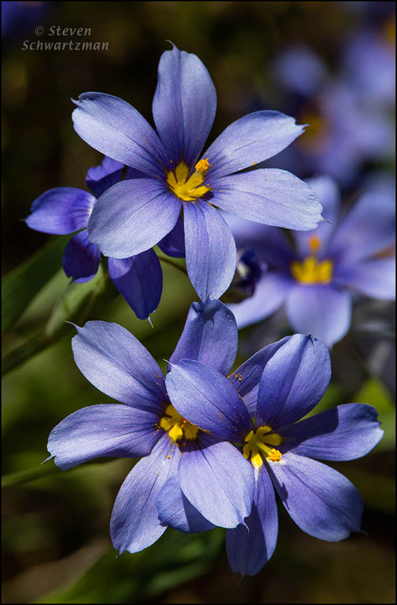Blue-Eyed Grass Flowers 3238
