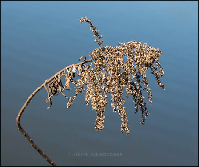 Dry Goldenrod Seed Head by Pond 3551