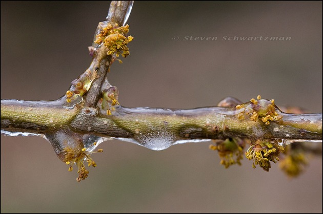 Elbowbush Flowers with Ice 2582