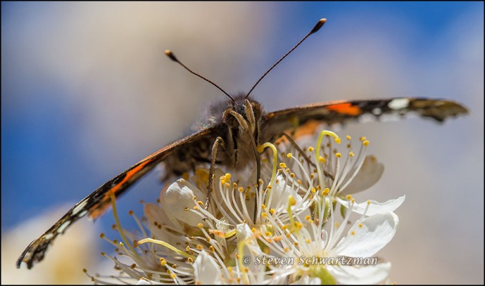 Red Admiral Butterfly on Plum Blossoms 3598