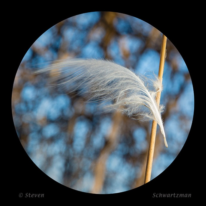 Small White Feather Caught on Dry Grass Stalk 1348A