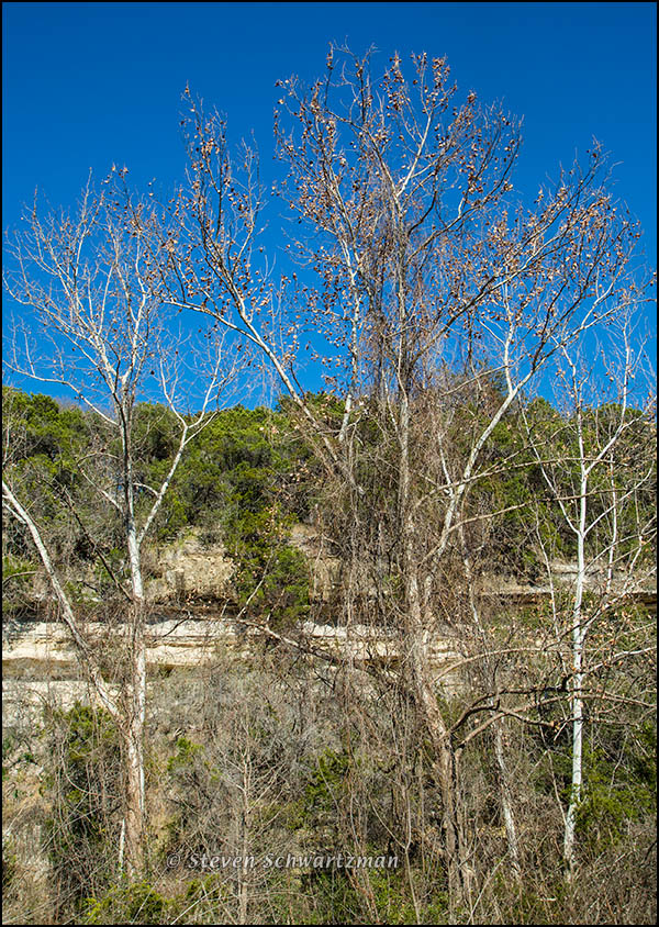 Sycamores by Bull Creek Cliffs 2233