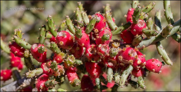 Tasajillo Cactus with Fruit 3827