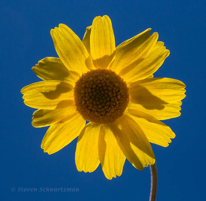 Tetraneuris linearifolia Flower Head Backlit 3202